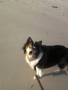 My Sheltie enjoying a walk on Honeymoon Island's dog beach.