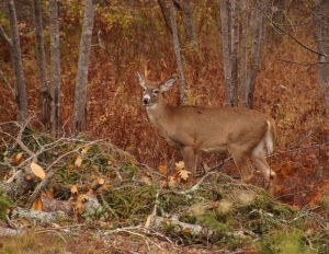 Buck at Schooner Head, Acadia National Park. ME