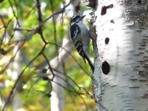Woodpecker  on birch tree